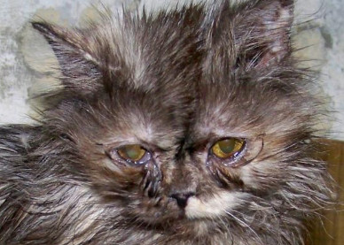 Аллергия у кота глаза слезятся